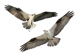 Two Ospreys in flight, isolated on white. Latin name - Pandion haliaetus.