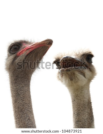 two ostriches isolated