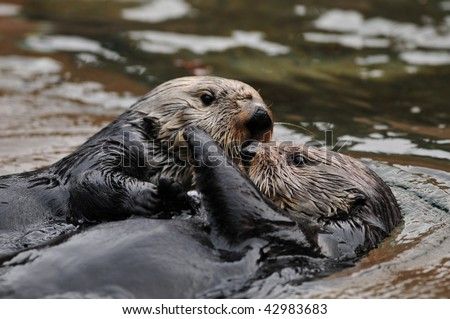 Two otters hugging and playing in water