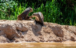 Two otters lie in the sand on the river bank. South America. Brazil. Pantanal National Park.