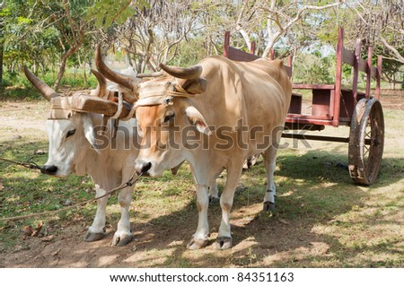 Two oxen used as a means of transport pulling a cart in Cuba.
