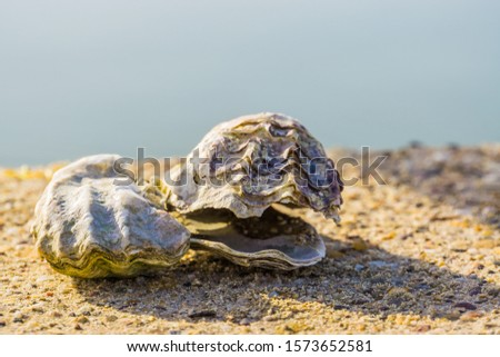 two oyster shells in closeup, ocean and beach background, marine life animal shell