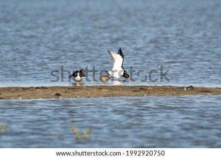 Two oystercatchers and a little redshank on a sandbank in the water