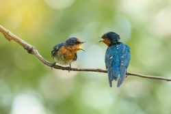 Two Pacific Swallow( Hirundo tahitica ) birds facing each other with open beak. Two birds talking