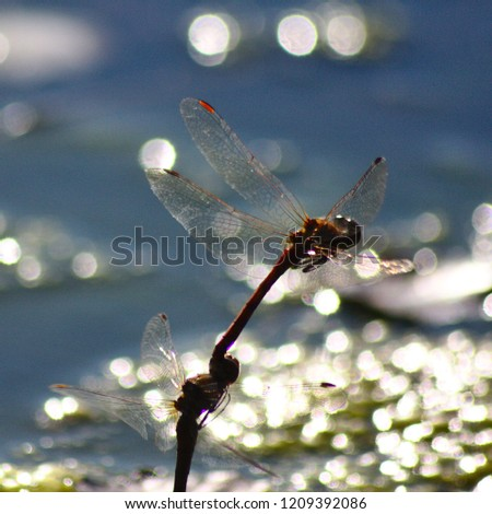 Two pairing dragonflies flying during egg deposition over the water #1209392086