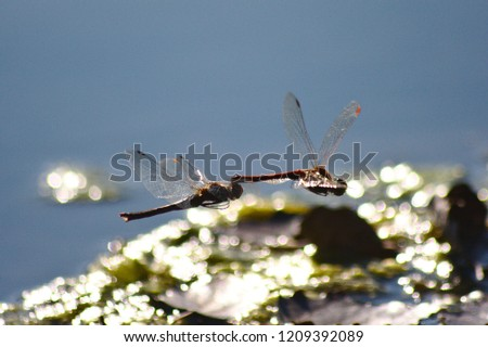 Two pairing dragonflies flying during egg deposition over the water #1209392089
