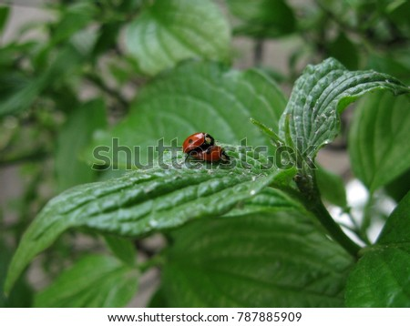 Two pairing red ladybugs on the leaf of the green bush. #787885909