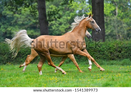 Two palomino akhal teke breed horses running in the park together. #1541389973