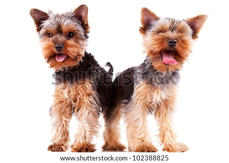 two panting yorkshire puppy dogs with their tongue exposed, standing on white background