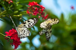 Two Paper Kite butterflies feeding from red flowers with bright blues & greens behind them, soft focus on front butterfly