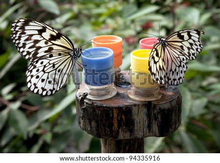 Two Paper Kite Butterfly (Idea leuconoe) sitting on feeders in  Papiliorama Park