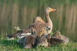 Two parent greylag geese out with their young goslings. Goose with goslings standing on grass