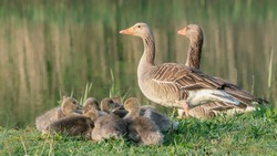 Two parent Greylag Goose (Anser anser) out with their young goslings