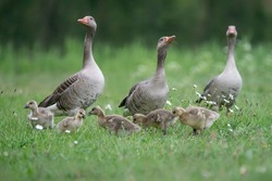 Two parent Greylag Goose (Anser anser) out with their young goslings. Gelderland in the Netherlands