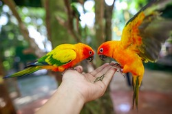 Two parrots eat sunflower seeds from the hands of a man in the park. Bird