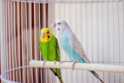 Two parrots in a cage