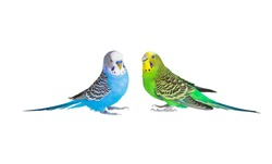 Two parrots with magnificent plumage sit opposite each other