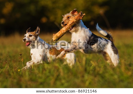 two Parson Russell terrier running through the meadow