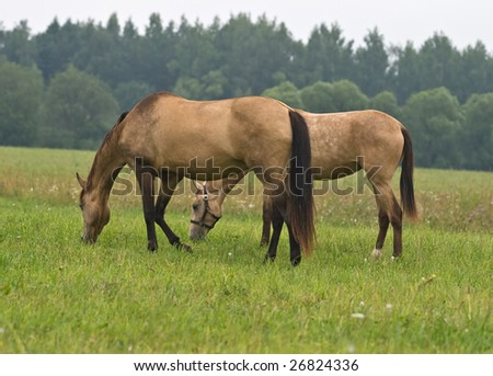 Two pasturing horses on a meadow
