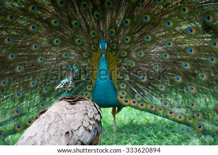 Two peacocks. Male peacock shows its beautiful tail, but female is not impressed