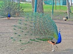Two peacocks spread their tails in a paddock