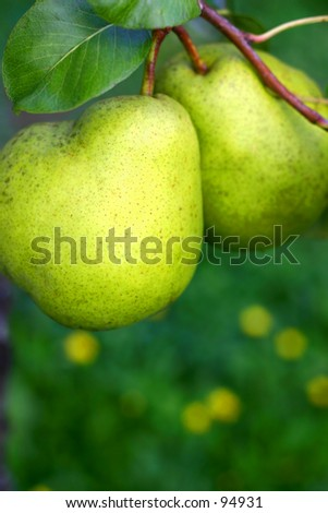 Two pears with the natural green background.