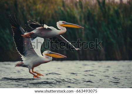 Two pelicans - Shutterstock ID 663493075