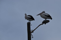 Two pelicans roosting on a street light on a cloudy day