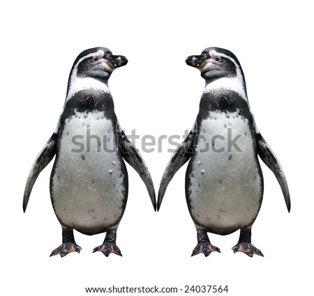 Two penguins in love - isolated