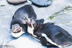 two penguins sunbathing at the zoo
