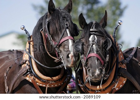 Two Percheron Draft Horse buddies wait patiently in full harness before they go to work (shallow focus)