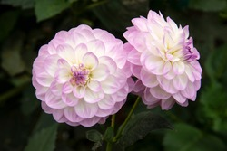 Two perfect pink and white Dahlia flowers against dark green background