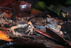 Two Peter's dwarf frog individuals, Engystomops petersi, a dark brown frog or toad with orange dots and a white belly looking angry at the camera