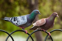 Two pigeon in St James park, London.