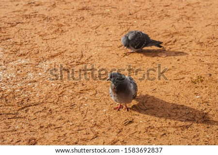 Two pigeons are on the road. Photo of two pigeons. Birds on an orange background, walking on the clay. Two gray pigeons on the road in the old part of the city #1583692837