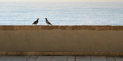 two pigeons during mating season nearing each other symbolizing love, courtship and partnership