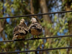 two pigeons in electricity wire