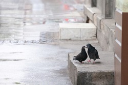 Two pigeons, lovers kissing under the rain in a street. They belong to columa livia, also known as Rock dove, the most common species of pigeon.