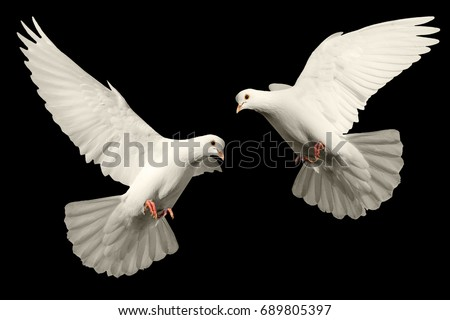 Two pigeons on a black background , bird of peace, religious symbolism
