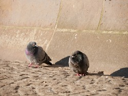 Two pigeons on Dam Square in Amsterdam sitting in the rising sun