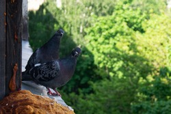 two pigeons on the window