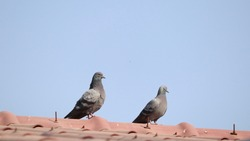 Two pigeons Perched on the red roof
