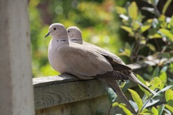 Two pigeons sat close together on a fence.