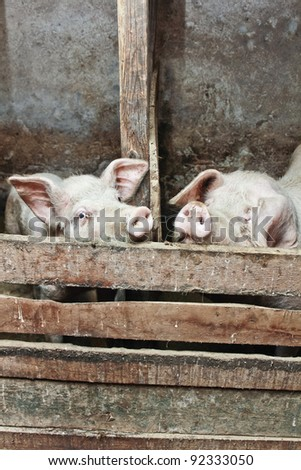 two pigs in a barn