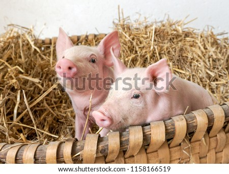 two pigs in the straw nest