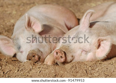 Two pigs laying on the dirt in the sun.