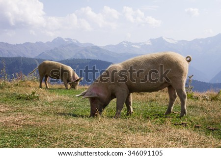 two pigs on a background of high mountains
