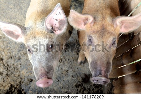 two pigs on the pig farm