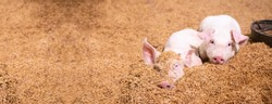Two pigs sleep on the golden husk. In an organic rural farm argiculture  livestock industry .panorama image