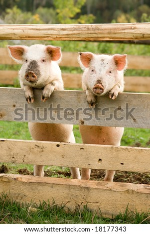 Two pigs stand on hinder legs